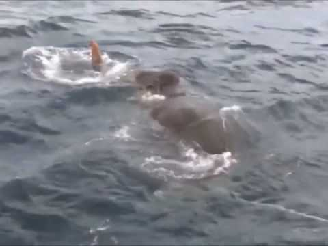 Giant Elephant Rescued out The Sea in  Sri Lanka