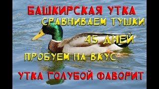 Сравнение Башкирской утки и утки Голубой фаворит