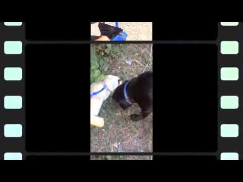 Ragdoll Cat Walking Adventures - Training a cat to walk on a lead.