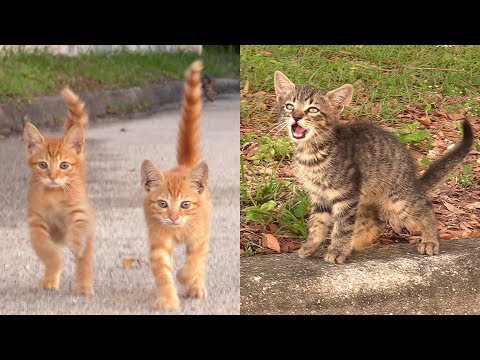 3 Kittens Meow to Stranger for Help