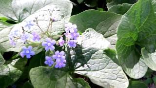 Синенький цветочек  первоцвет(Пришла весна. Закончилась долгая и суровая, снежная зима. В лесу, в саду, на клумбах появляются первые цветы...., 2014-05-05T09:58:20.000Z)