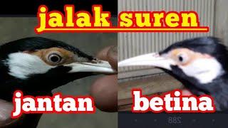 cara membedakan burung jalak suren jangtan dan betina yang akurat.