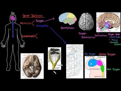 Sinir Sisteminin Yapısı (Sağlık ve Tıp) (Sinir Sistemi Fizyolojisi) (Psikoloji / Davranış)