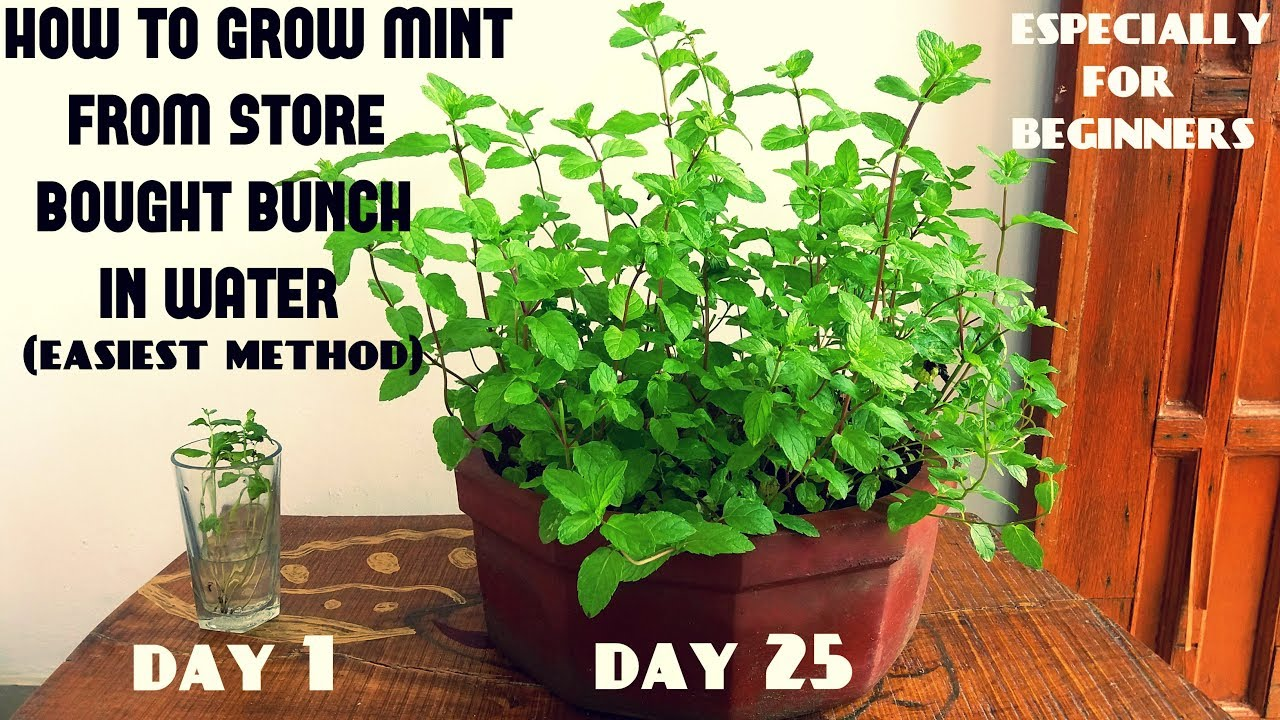 easiest method for beginners to grow mint from cuttings with updates youtube. Black Bedroom Furniture Sets. Home Design Ideas