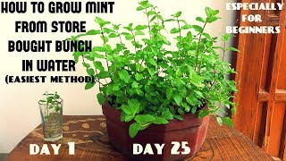 Easiest Method for Beginners to Grow Mint From Cuttings (With Updates) thumbnail