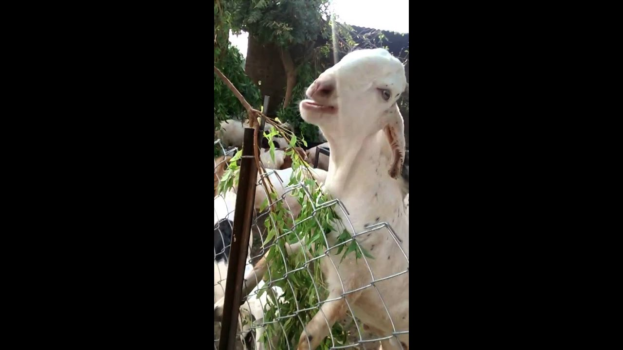 Goat farming in gujarat