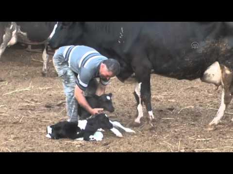 Dördüz doğuran inek