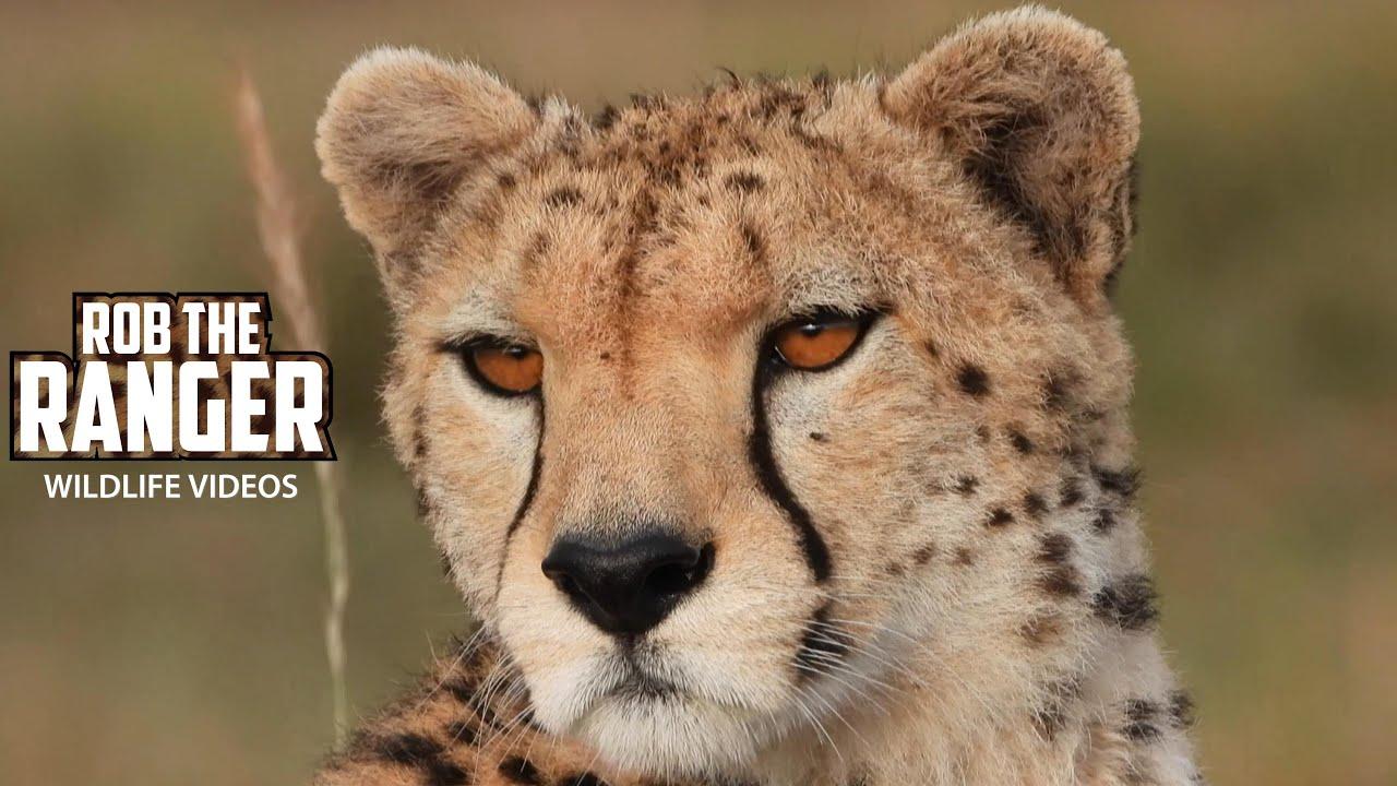 Neema Female Cheetah On Patrol | Maasai Mara Safari | Zebra Plains