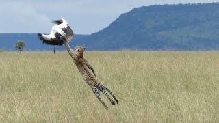 НЕВИДИМЫЙ бесшумный охотник и кот-древолаз в одном лице - ЛЕОПАРД В ДЕЛЕ! смотреть онлайн в хорошем качестве - VIDEOOO