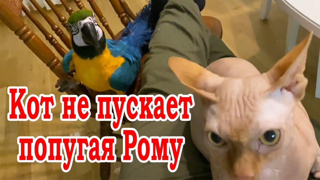 Кот сфинкс не пускает попугая к хозяину. Говорящий попугай Ара сердится и залезает на спинку стула