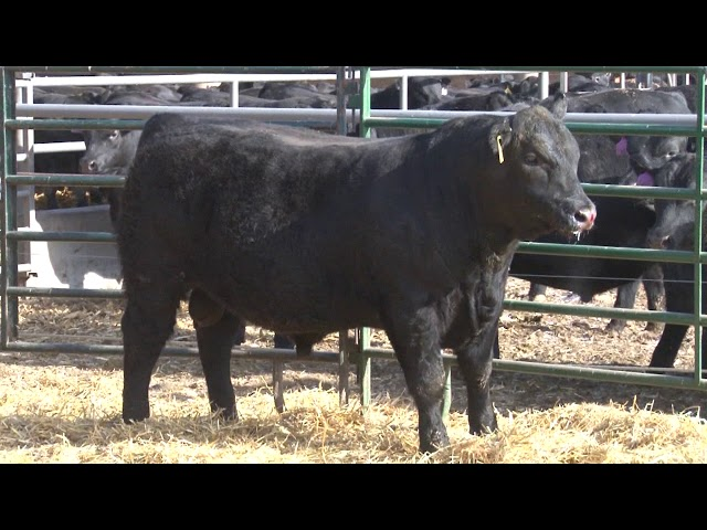 Schiefelbein Angus Farms Lot 191