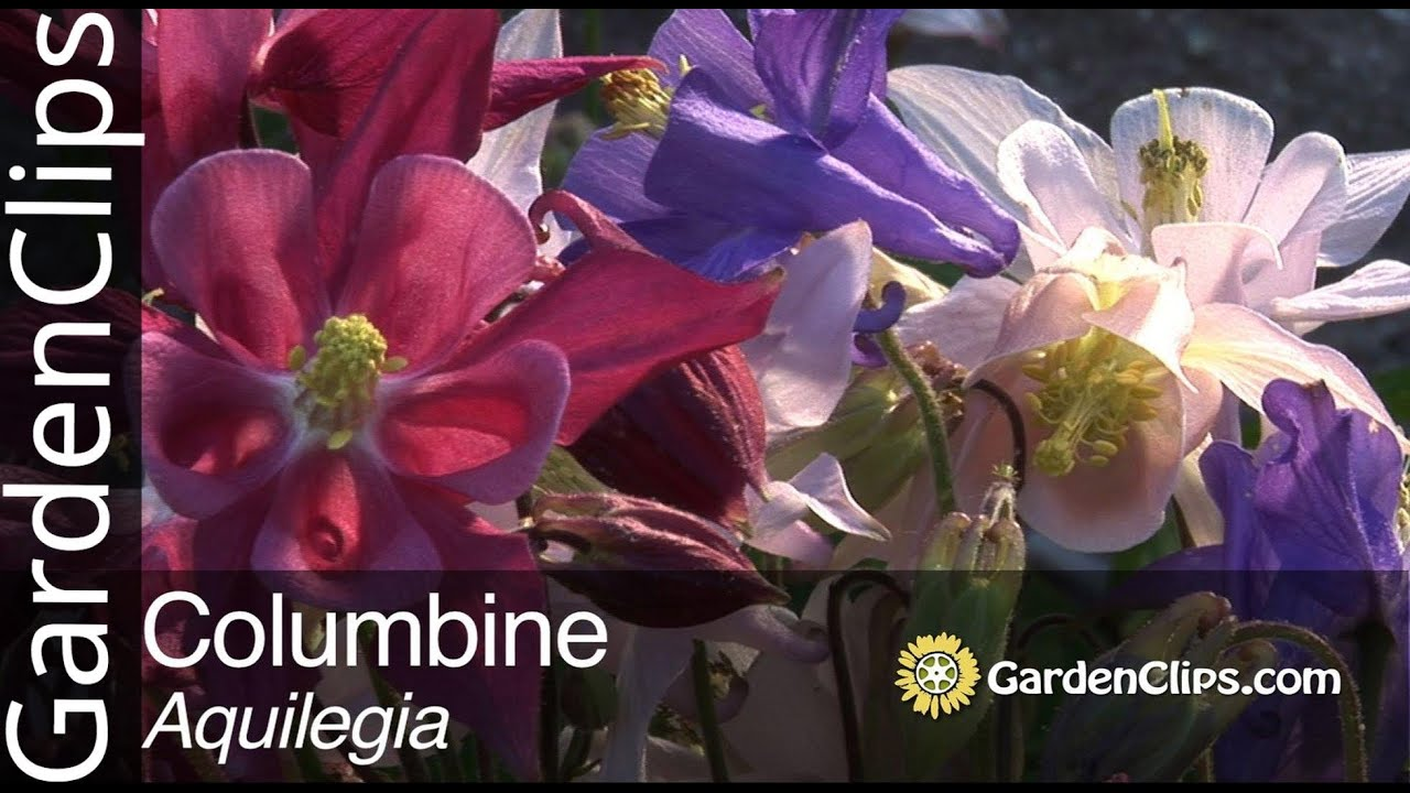 Columbine Aquilegia Species How To Grow Columbine Flowers Youtube