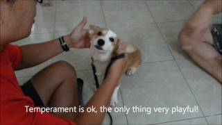 Dogs training in Singapore- 4 months 5 days old Pembroke Welsh Corgi