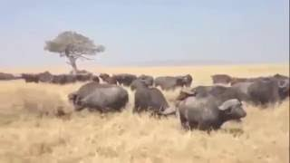 最も驚くべき野生動物の攻撃、ライオンvsタイガー、クロコダイル、バッ...