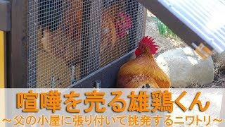 """2018年2月下旬のこと。 2歳7ヶ月の雄鶏""""夏""""は、父""""ぴよ助""""が入居する雄..."""