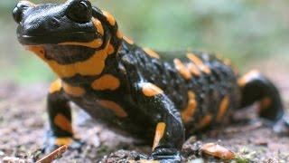 Огненная саламандра - Fire Salamander (Энциклопедия животных)