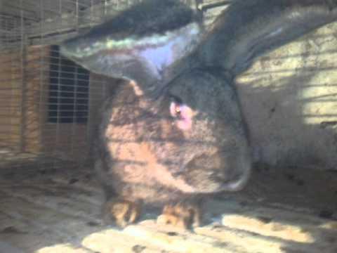 Самые крупные кролики в Армении (Гюмри) тел...(094259324)