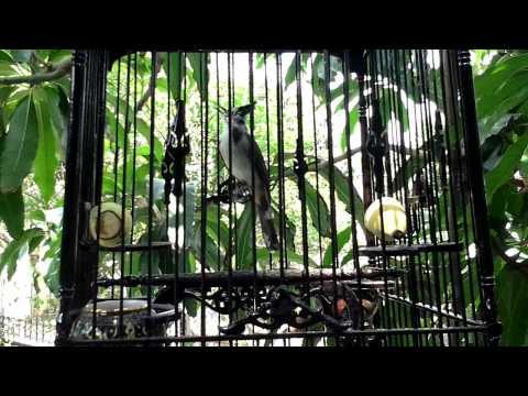 นกด่างลุ้นหัวอินทรีย์