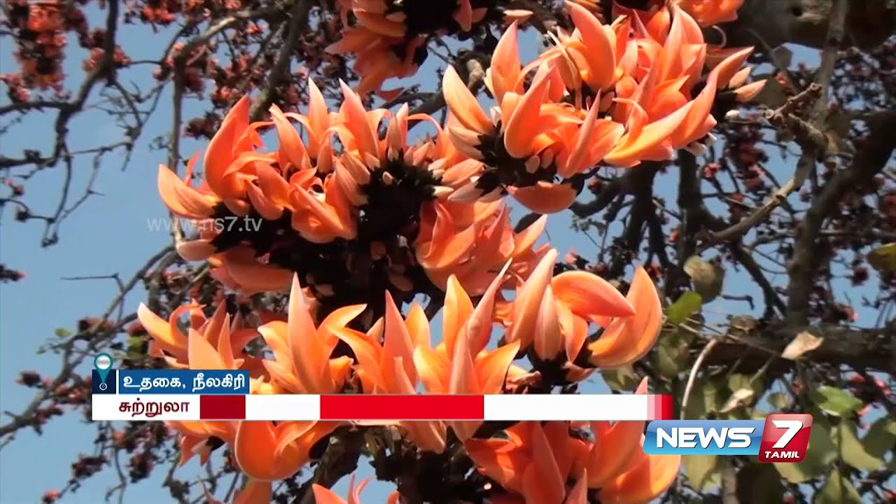 Flame Of The Forest Flower Attracts Tourist In Ooty News7 Tamil