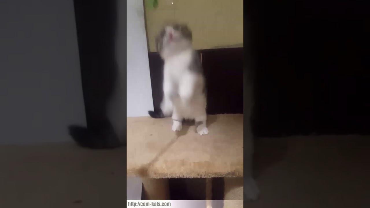Munchkin fold scottish kilt kittens for sale