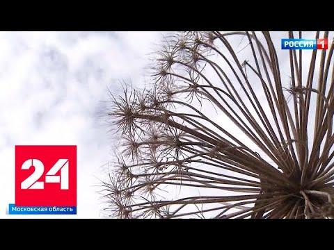 На земле и с воздуха: в Подмосковье началась борьба с борщевиком - Россия 24