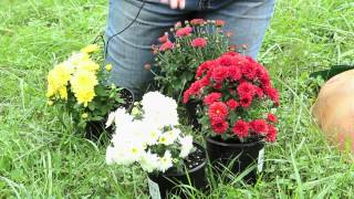 How to Arrange Mums in a Yard : Planting & Caring for Mums