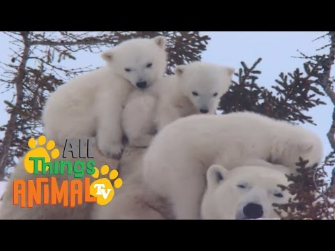 * POLAR BEAR * | Animals For Kids | All Things Animal TV