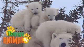 POLAR BEAR | Animals for children. Kids videos. Kindergarten | Preschool learning