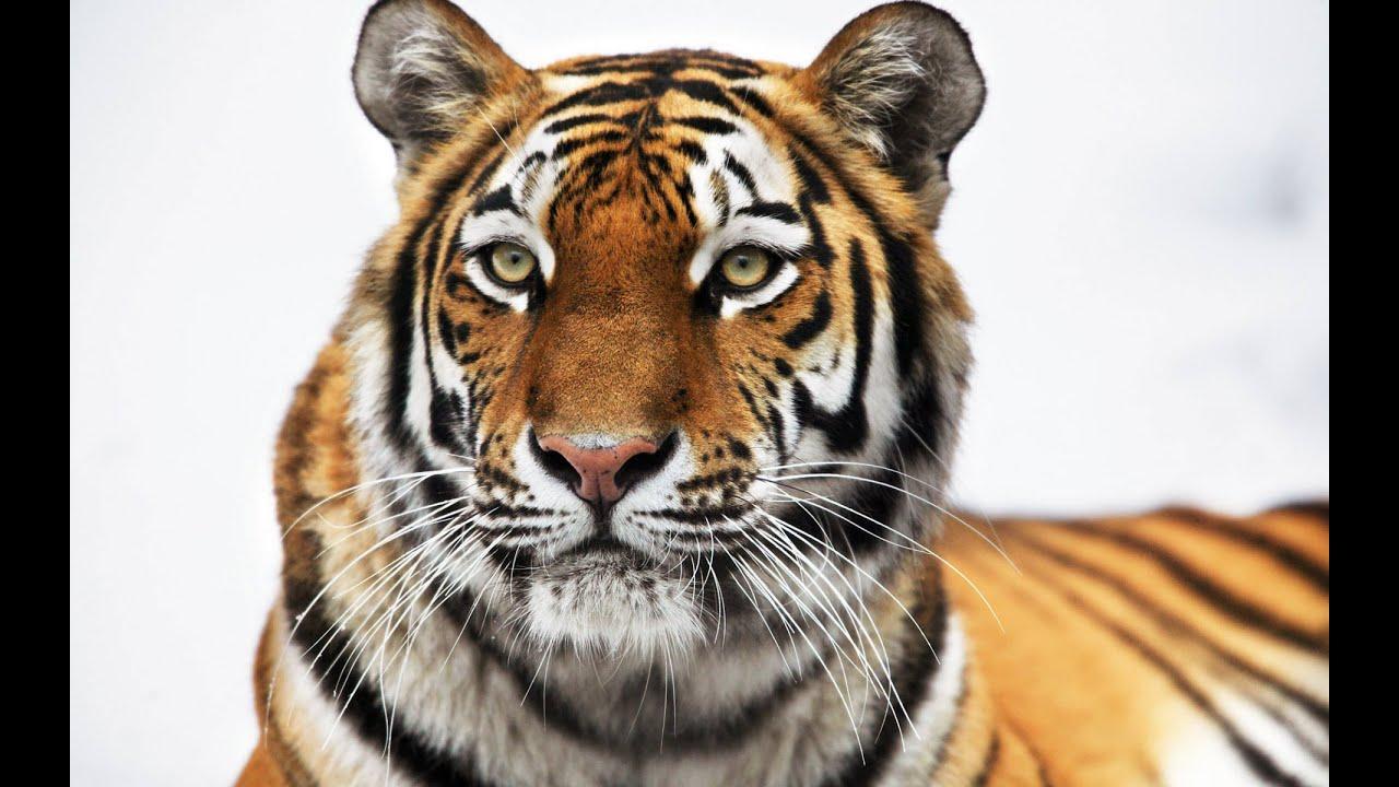 Tiger: Animals for Children Kids Videos Kindergarten ...