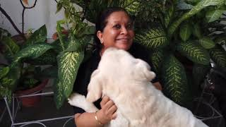 Enakshi's Labrador Retriever Kennel | Dog Kennel In Lucknow | Labrador Standard |  Scoobers