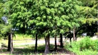 Plant A Bald Cypress Tree, Fast Growing Shade Tree