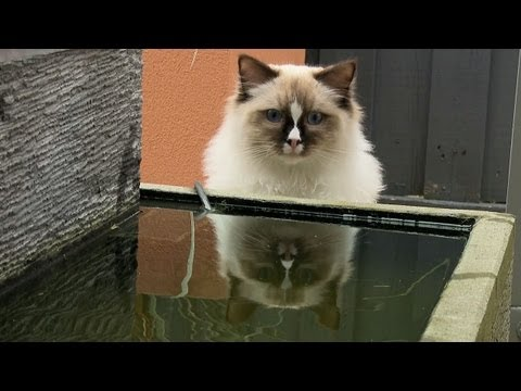 Ragdoll Cat Saves A Zuru Robo Fish Toy - PoathTV Cats