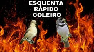 ESQUENTA COLEIRO RÁPIDO FÊMEA PEDINDO GALA E MACHEADO QUENTE, Excelente Para abri o canto