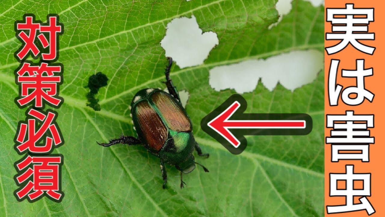 【実はとても厄介な害虫】お庭を守るためのコガネムシ対策の話し!
