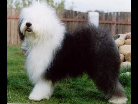 Бобтейл (Old English Sheepdog). Породы собак (Dog Breed)