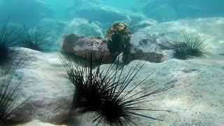 Conducta de los erizos de mar con peces(movimiento).