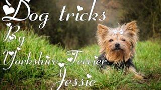 Dog Tricks by Yorkshire Terrier Jessie