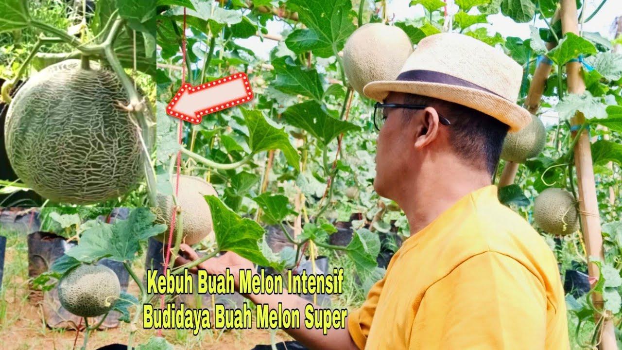 Kebun Buah Melon Intensif dengan Media Tanam Polybag Pot Plastik Budidaya Melon Super Pantura Subang