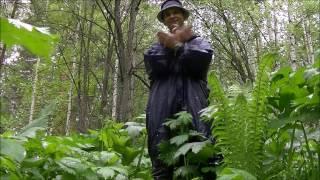 видео Борщевик сибирский