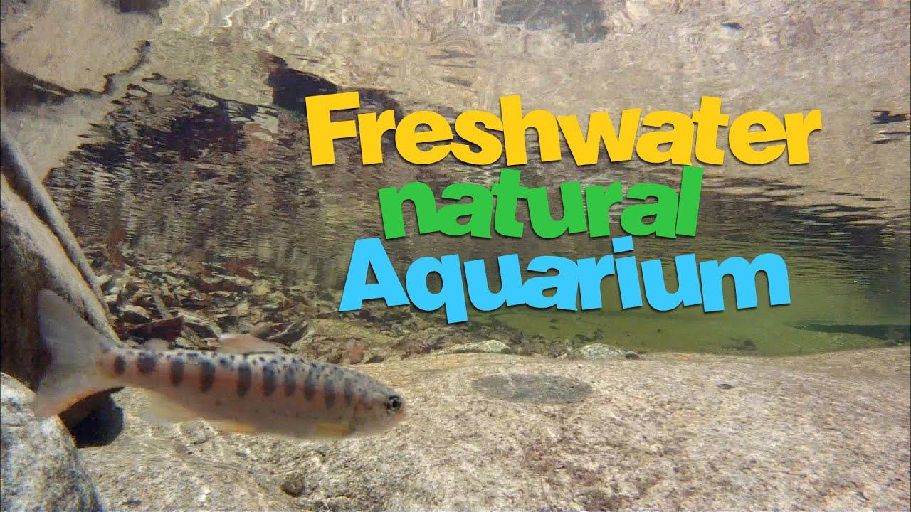 Freshwater fish korea -  Korean Freshwater Fish Oncorhynchus Masou