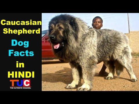 Caucasian Shepherd Dog Facts In Hindi : Pupolar Dog Breeds