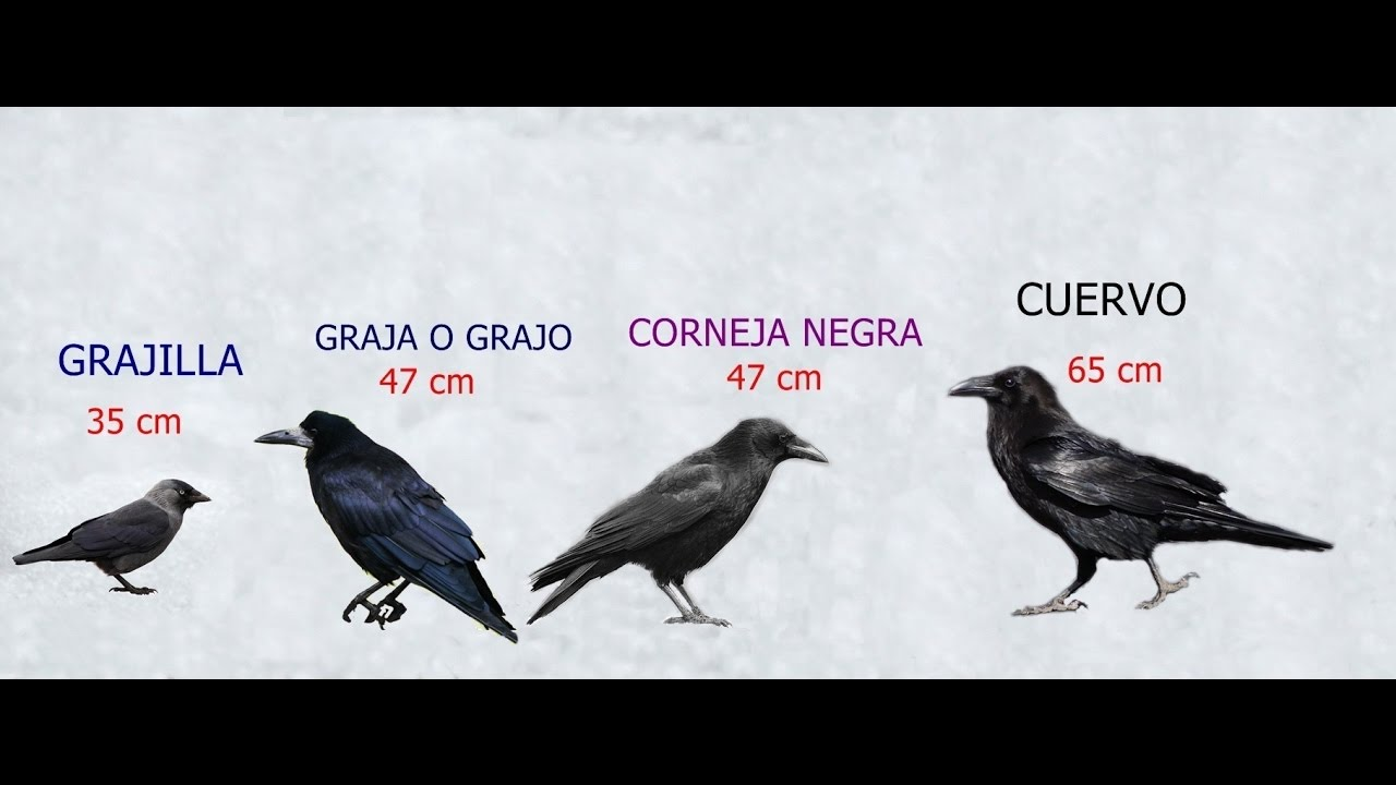 Resultado de imagen de grajos y cuervos diferencias