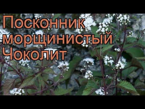 Посконник морщинистый Чоколит (eupatorium rugosa) 🌿 обзор: как сажать, рассада посконника Чоколит