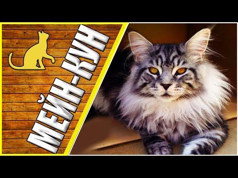 Мейн кун, ласковый великан, домашние кошки, семейство кошачьих