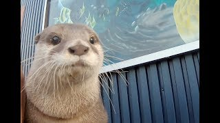 Finally Aty got a girlfriend!? [Otter life Day 145] アティがお見合い!?ついに彼女ができた!?
