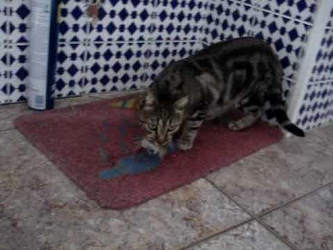 Gato cazando raton  YouTube