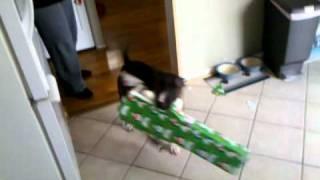Bull Terrier Vs X Mas Present