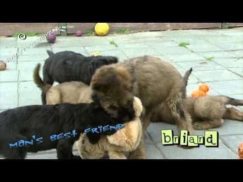Briard #02 - puppy love