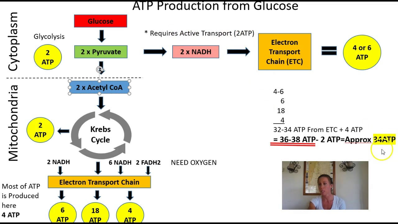 atp production - [instructor] alright, so, if we were gonna go on the ambitious task of tallying up how much atp was produced in one cycle of cellular respiration or, just to be super clear here, i mean how much atp was produced per the oxidation or breakdown of one molecule of glucose in cellular respiration.