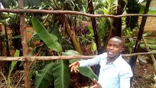 Diversajn sortojn de bananoj kiuj troviĝas en la kampo de miaj gepatroj